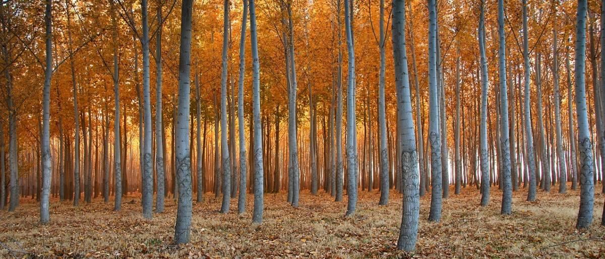 Estudios en plantaciones forestales